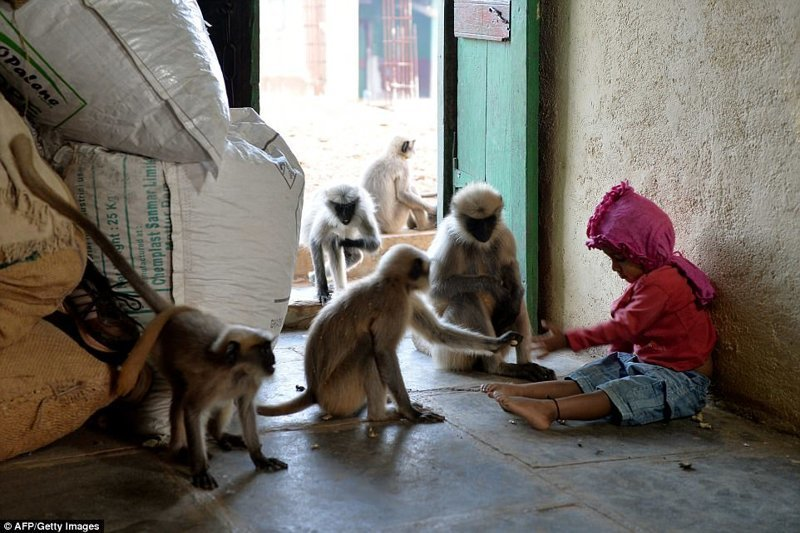 Маугли из Индии: 2-летний мальчик нашел дружит с дикими обезьянами