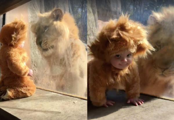 Милота зашкаливает: грозный лев принял 11-месячного кроху за своего