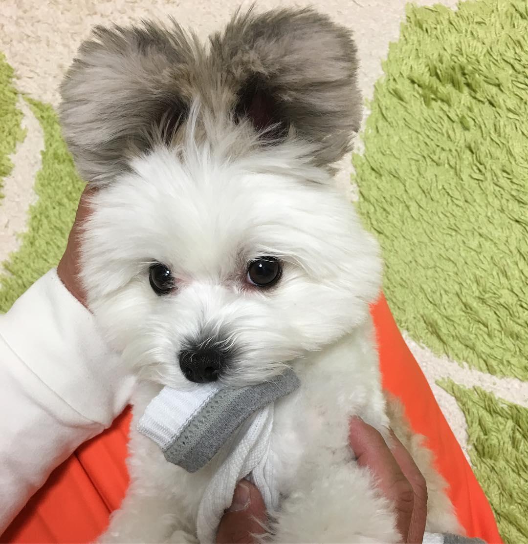 Безумно милый щенок с ушами, как у Микки Мауса стал новой звездой соцсетей