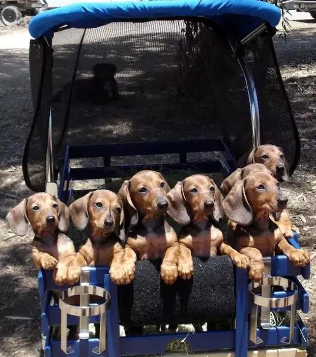 Эти новорожденные щенки таксы растопят ваше сердце (7 фото)